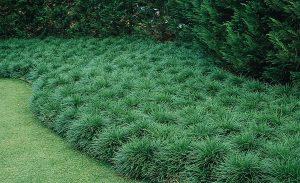 Convallaria japonica