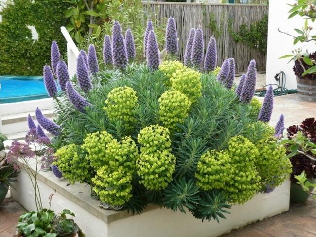 Euphorbia e Echium
